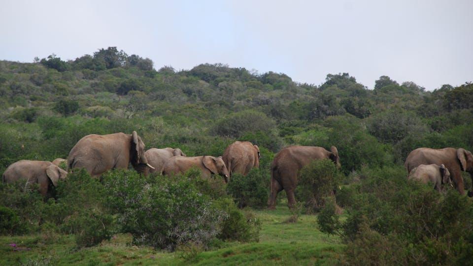 Olifanten in Amakhala Game Reserve Zuid-Afrika