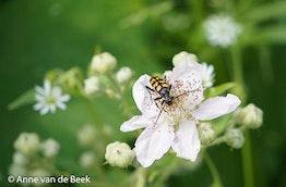 Boktor op een bloem