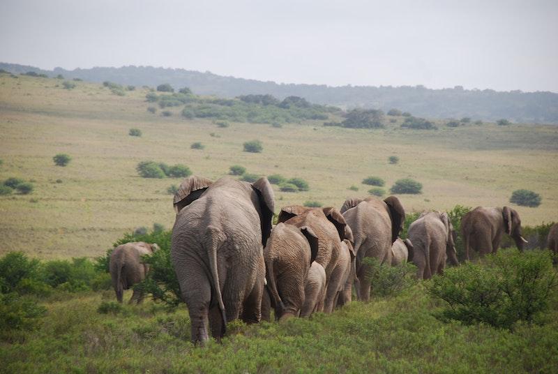 Olifanten in Amakhala