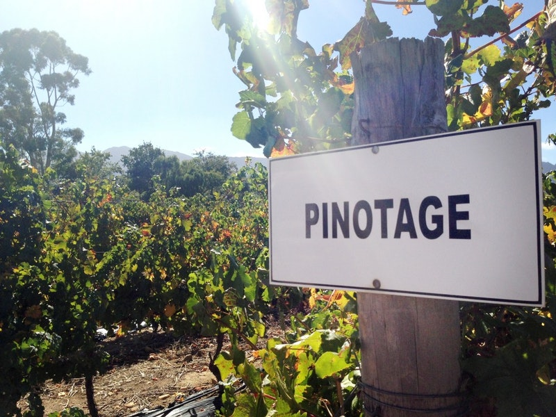 Pinotage in een wijngaard